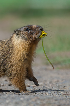 Offering a Dandelion