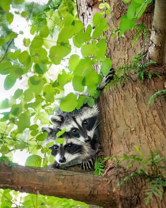 Double Raccoon Trouble