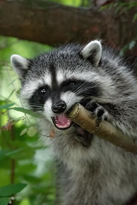 Raccoon Chew