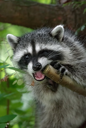 Raccoon Chew