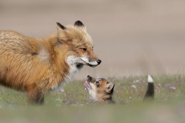 Fox & A Half