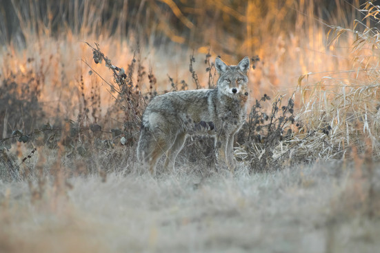 Coyote at Sunset