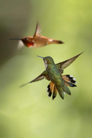 Hummingbird Chase