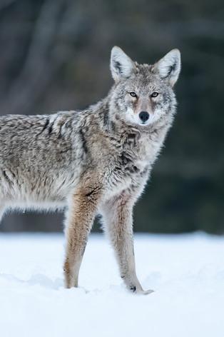 Coyote Pose