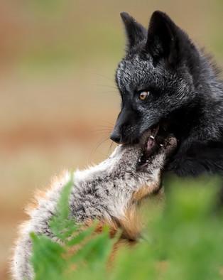 Fox Nibble