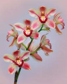 Orchid Kimberley Splash