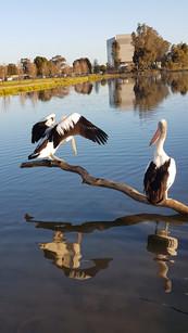 Pelicans at Victoria Lake