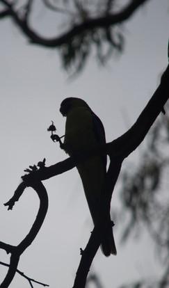 Parrot Happy Hour!
