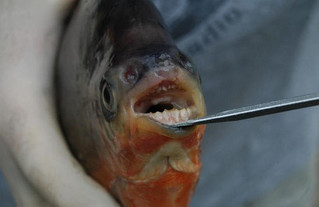 Vegetarian Piranhas in Michigan Lakes!