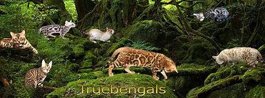 Bengals breeder bridlington stockport