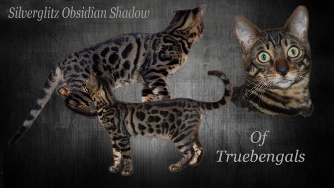 Silverglitz Obsidian Shadow of Truebengals HCM
