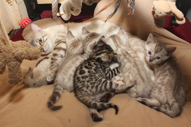 Khaleesi's Kittens