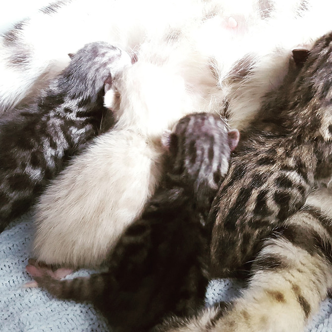 Dreams has kittens sired by Solo.