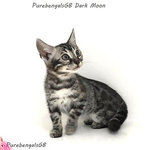 Bengal cat kitten charcoal silver double charcoal