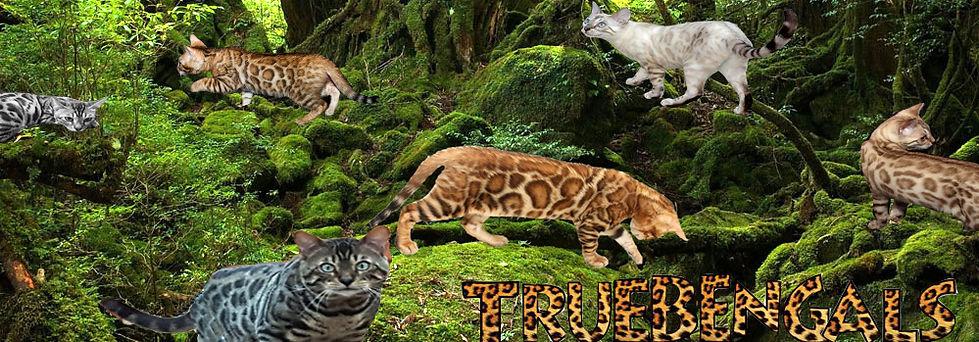 Pedigree Bengal Cats