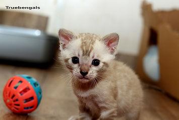 Snow bengal kitten