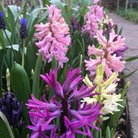 Spring British grown hyacinths