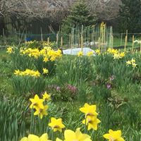 spring British grown daffodils