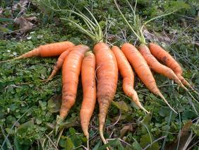 scarlet-nantes-carrots_MED