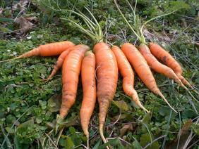 scarlet-nantes-carrots_MED.jpg