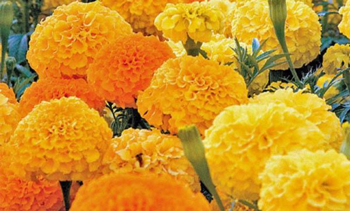 African Marigolds, Crackerjack Mix