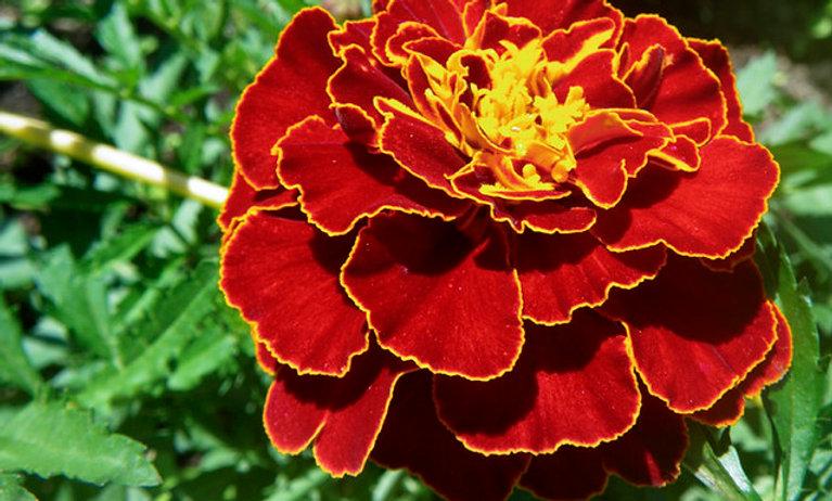 Marigold, Red Metamorph