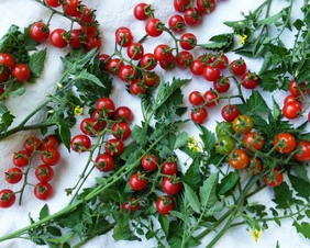 SOEX tomato-matts-wild-cherry_MED.jpg
