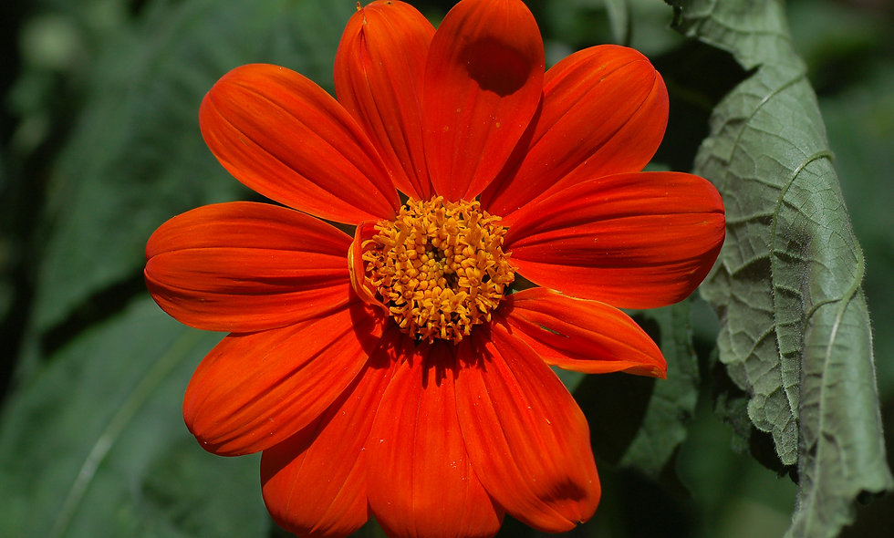 Tithonia, Red Torch