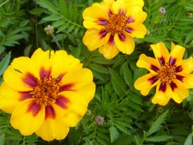 marigold-naughty-marietta_MED