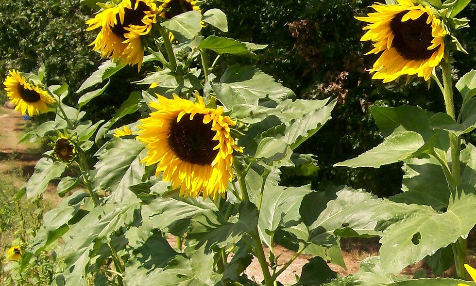 Hopi Dye Sunflower