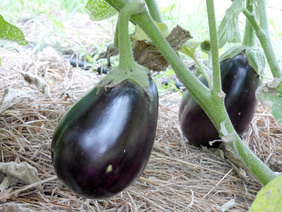black-beauty-eggplant_MED