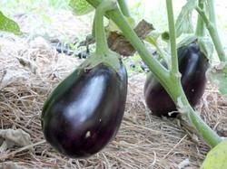 black-beauty-eggplant_MED
