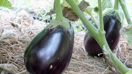 black-beauty-eggplant_MED.jpg