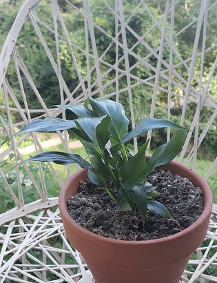 "Spathiphyllum ""Peace Lily"""