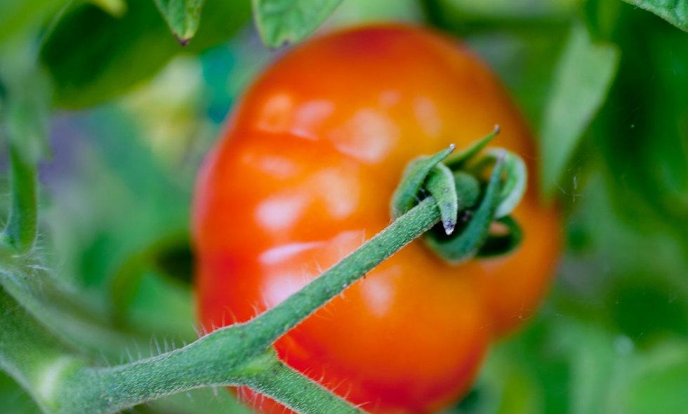 Big Boy Hybrid Tomato