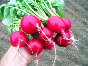 radish-cherry-belle_MED