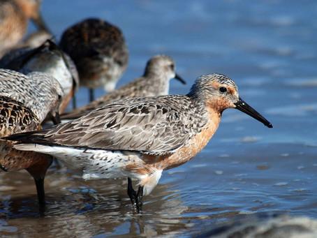Red knot numbers plummet, pushing shorebird closer to extinction