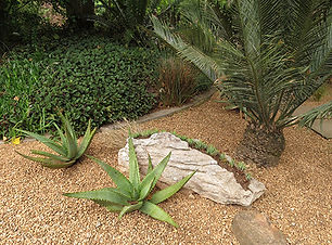 Plectranthus ecklonii  & Duvernoia adhatodoides