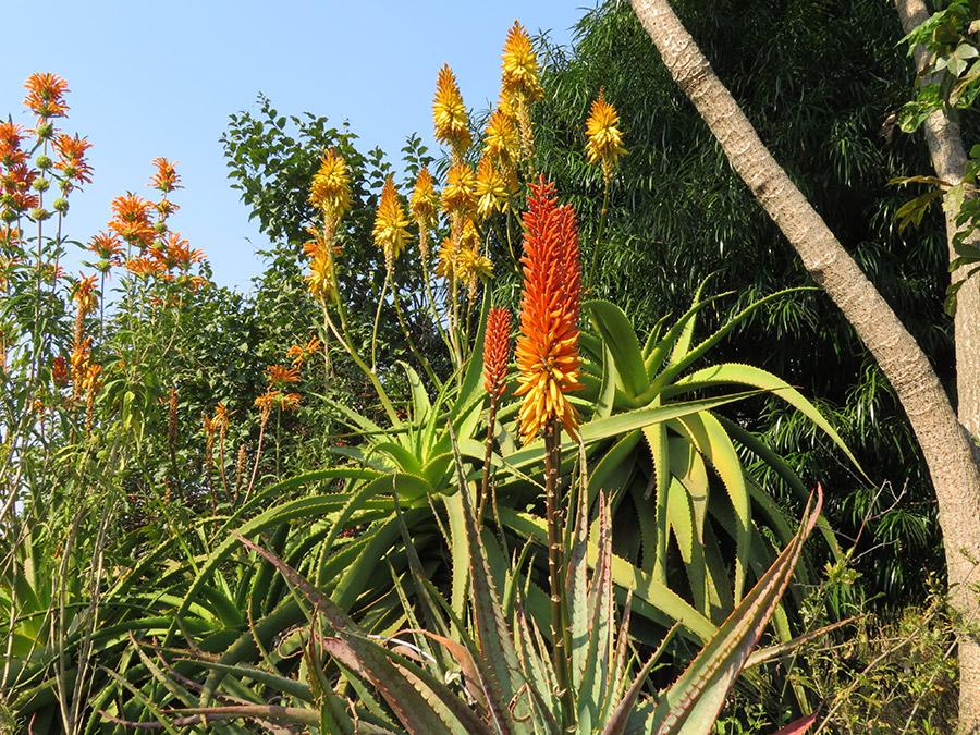 Aloes and Leonotis leonurus (Wild Da