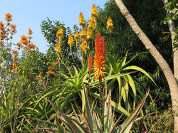 Aloes and Leonotis leonurus (Wild Da