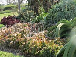 Crassula and Aloes