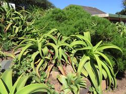 Aloe vanbalenii and Senecio barberto