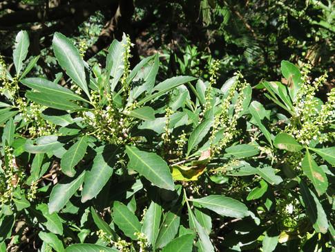 Allophylus dregeana