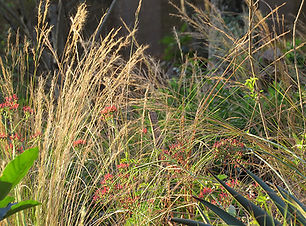 Winter grasses in Durban