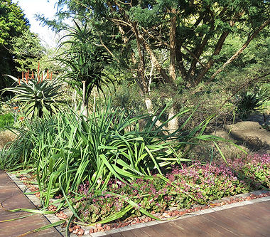 Kniphofia and Crassula multicava egde a wooden walkway