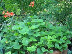 Shade Pelargonium