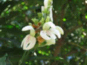 Duvernoia adhatodoides