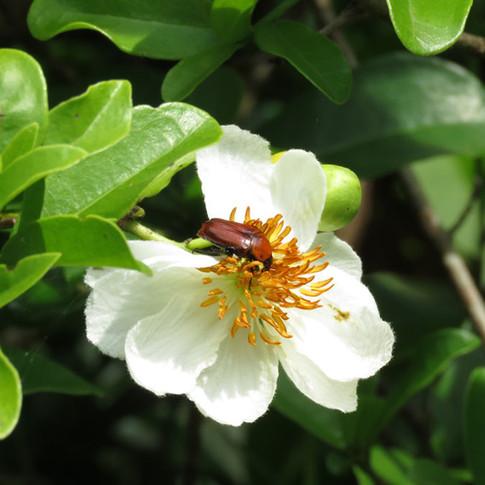 Beetle on Xylotheca kraussiana