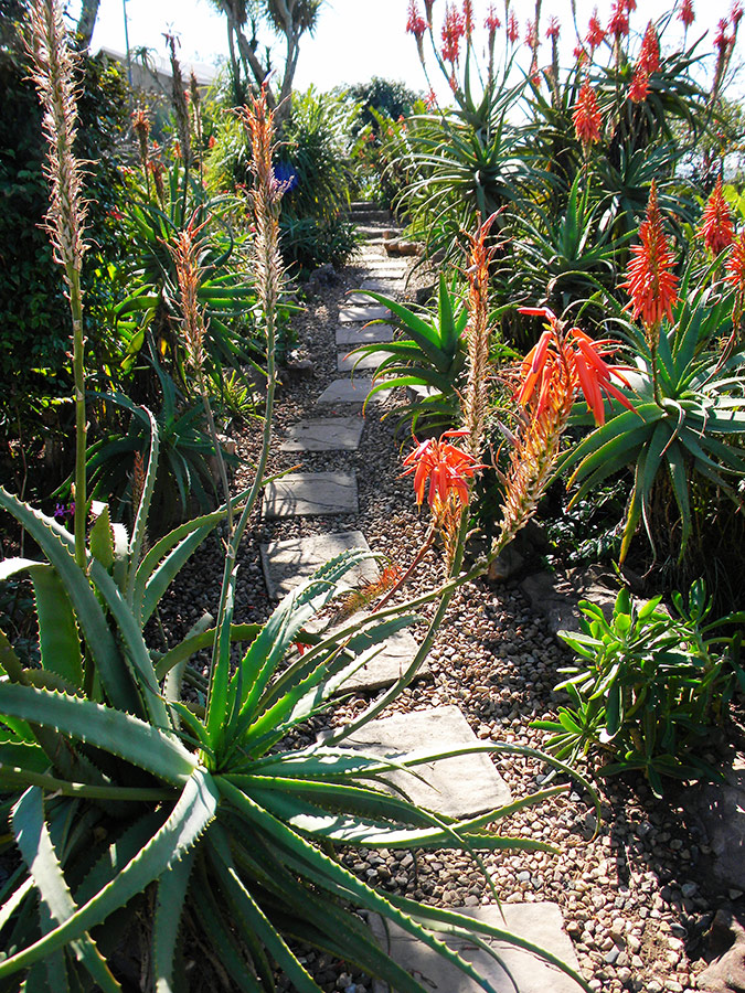 A Path through the Aloes