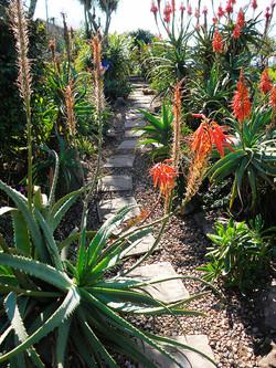 A Path through the Aloes